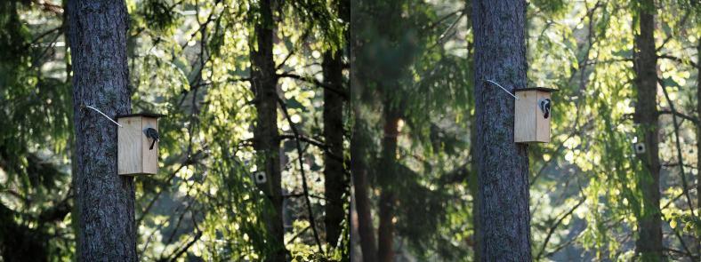 talitiainen ja kirjosieppo samalla linnunpöntöllä